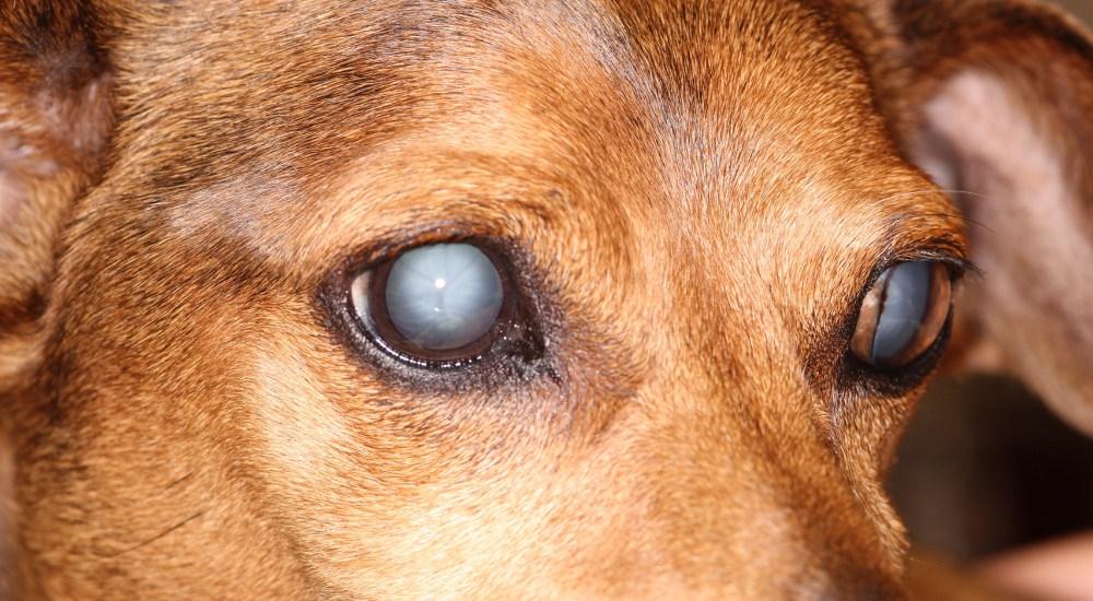 How To Treat Blindness In Dogs