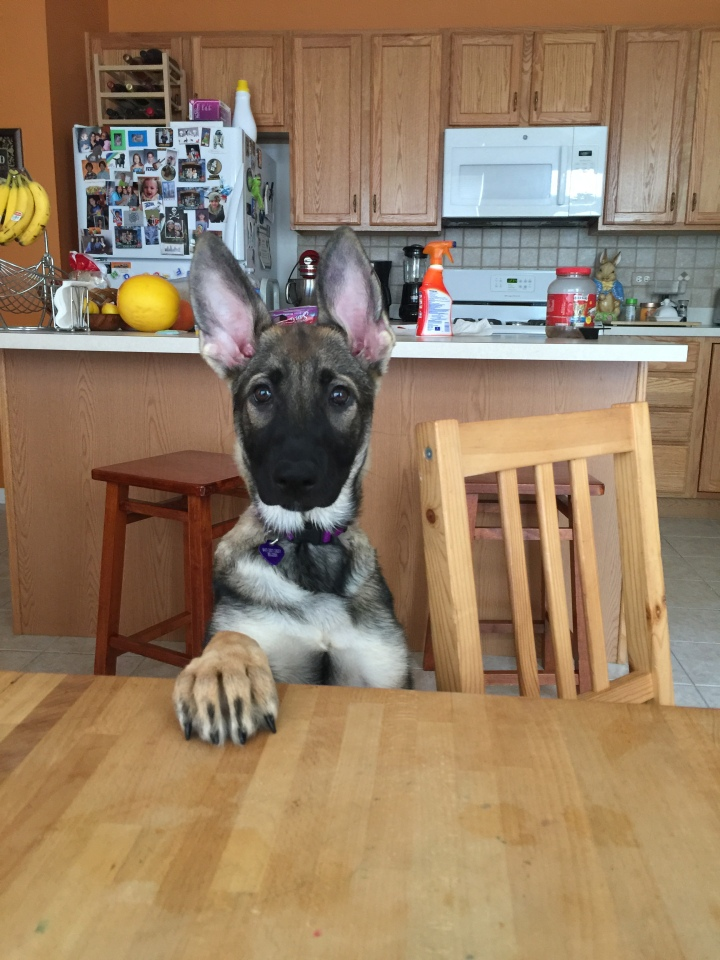 Don't judge me. I'm a nice German Shepherd