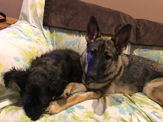 german shepherd GSD and cairn terrier