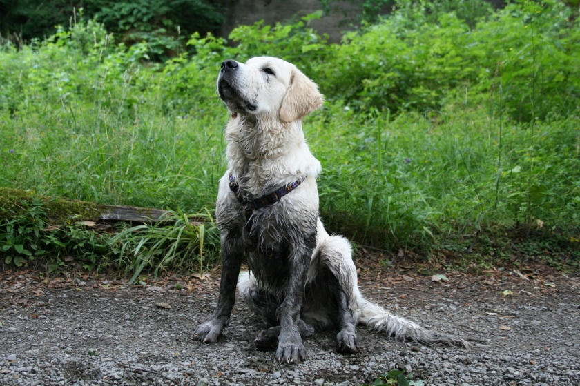 easy fix for a muddy yard when you have dogs